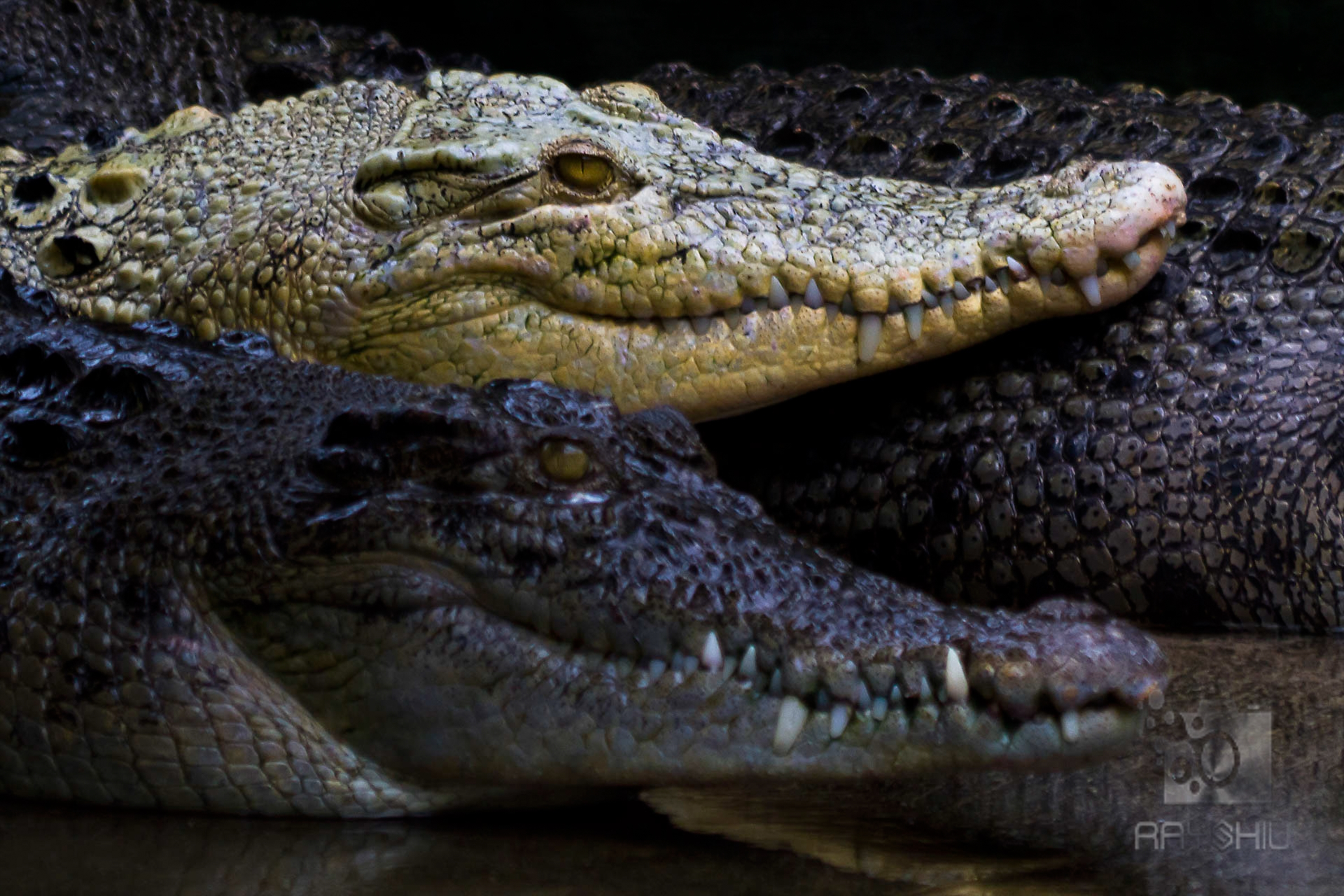 The beatuy of nature, contrasting crocodiles.