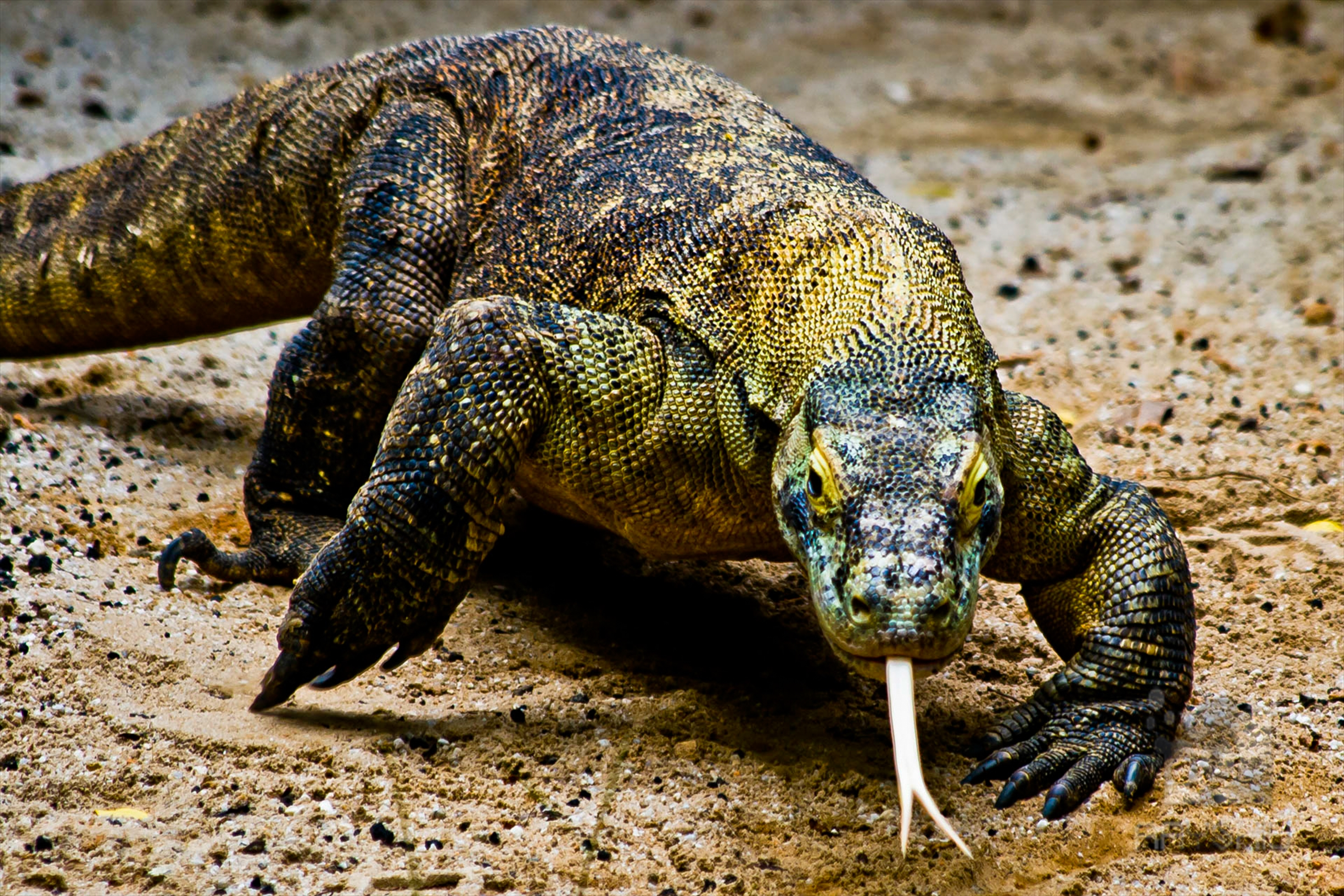 Survival of the fittest, Komodo Dragon.