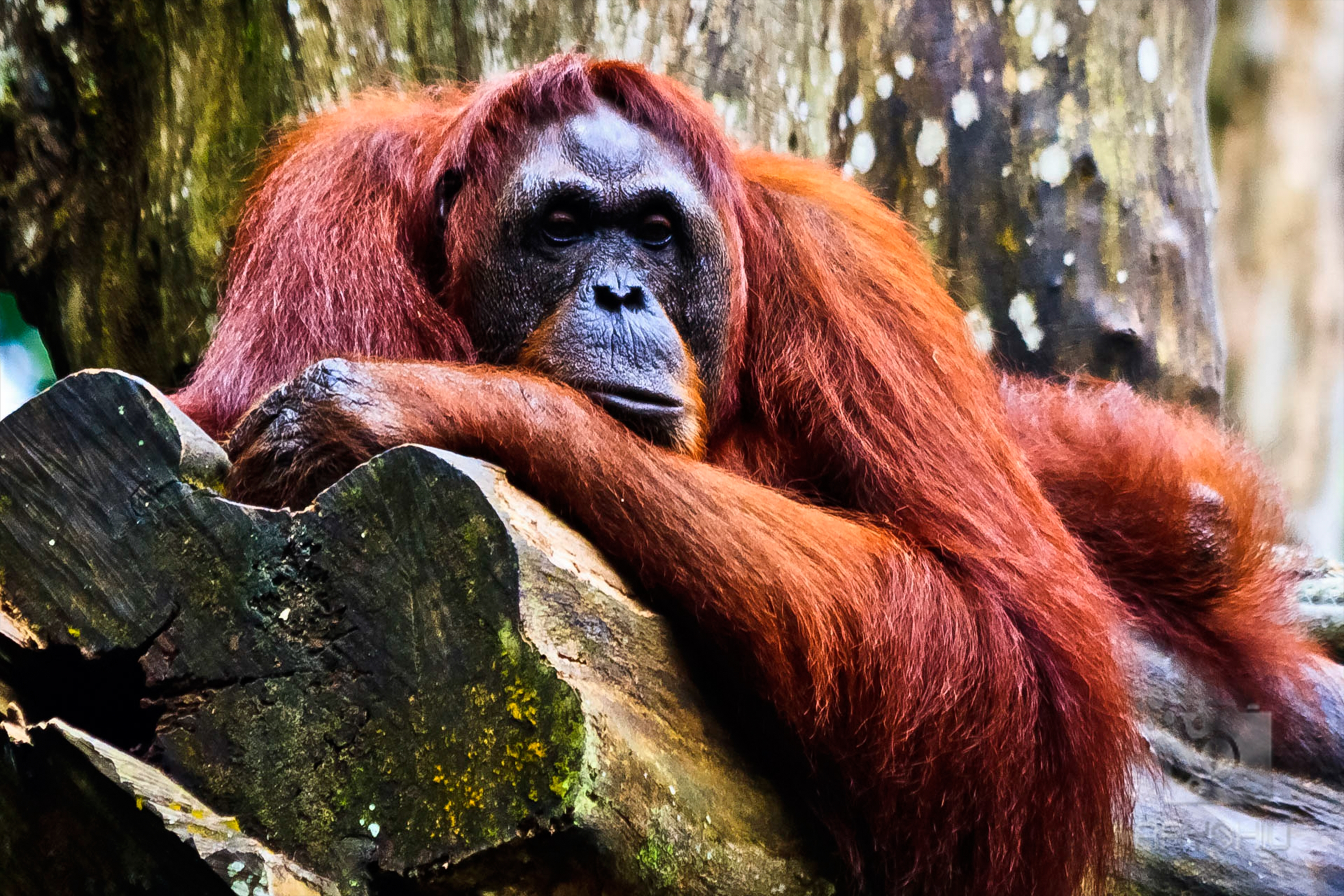 Bornean (EN) and Sumatran (CR) orangutans number less than 49,000 in the wild and decreasing.