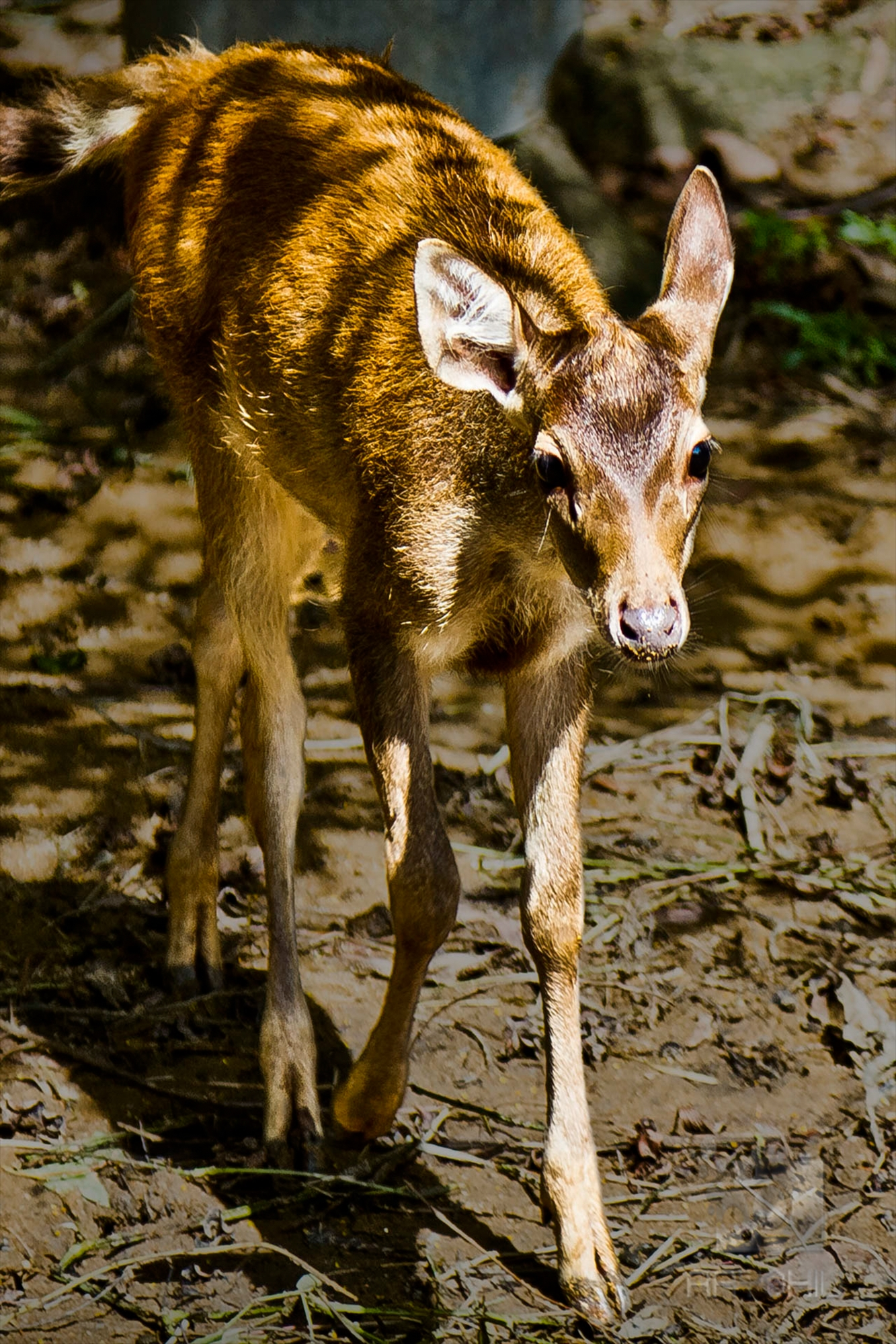 A hesitant Asian fawn.