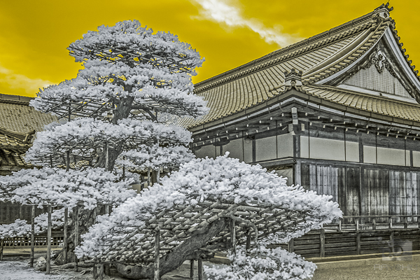 Artistic giant bonsai tree in front of a centuries old temple.