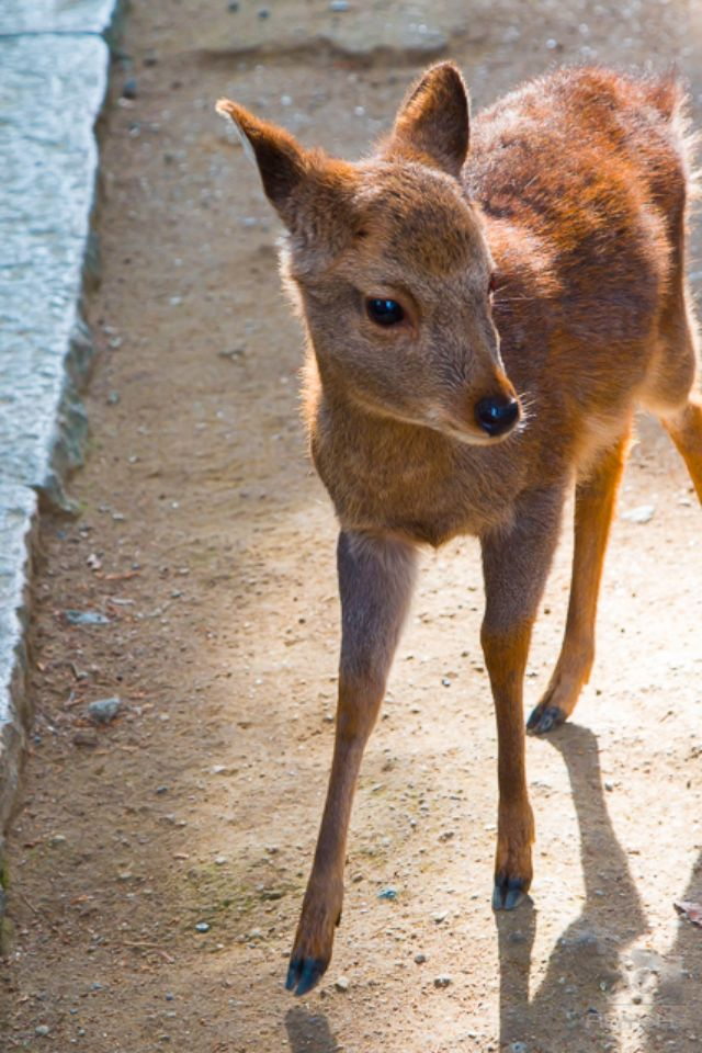 Close up of a hesitant baby deer wanting food.
