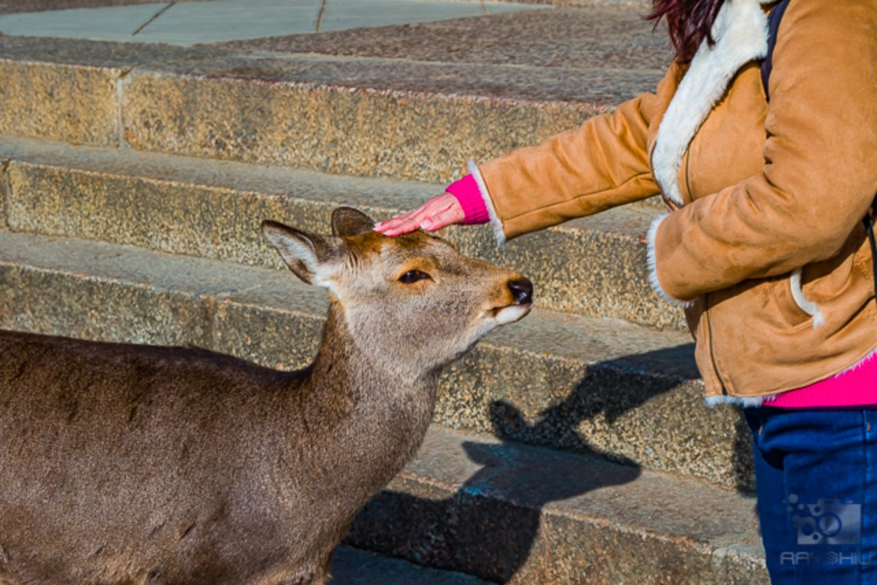 Free ranging, wild Sika deer being pet on the head
