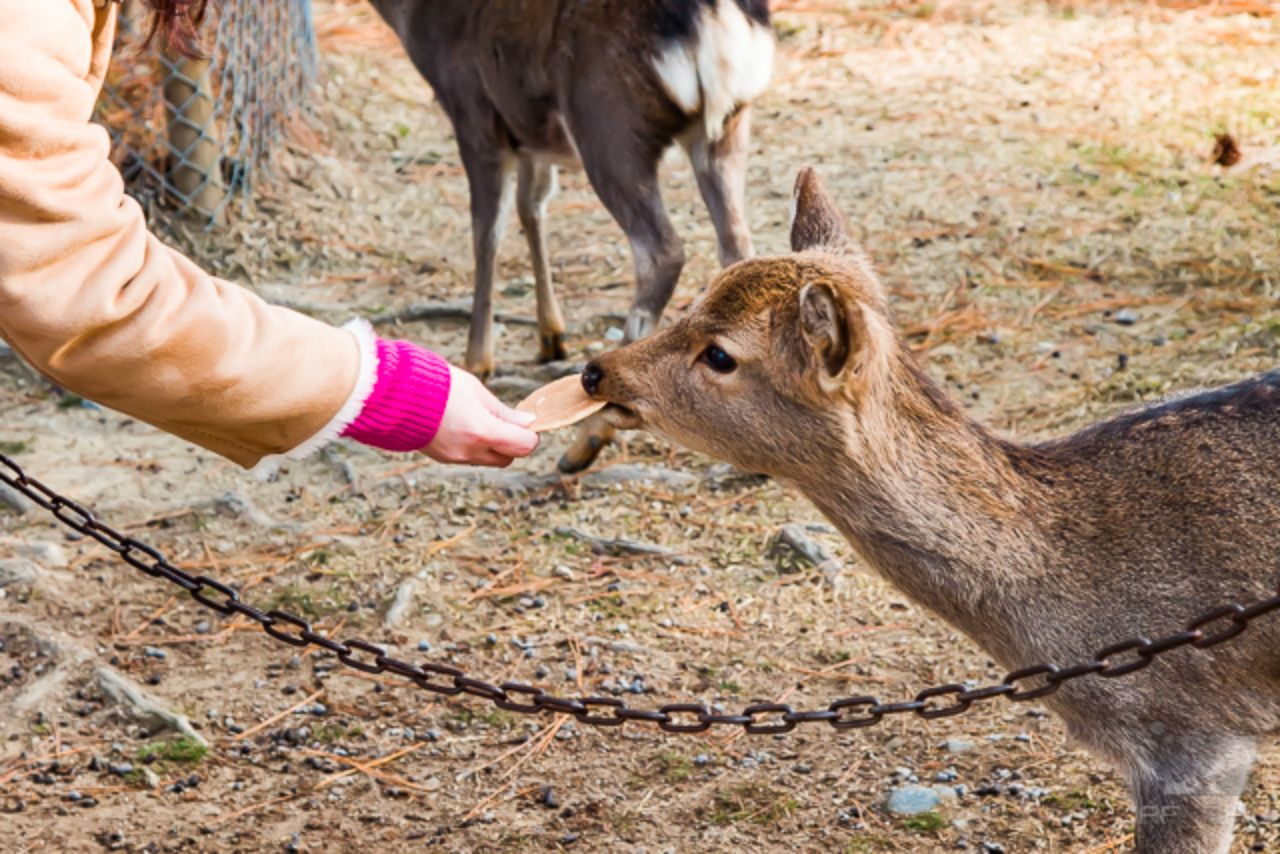 Feeding a baby sika deer biscuits.